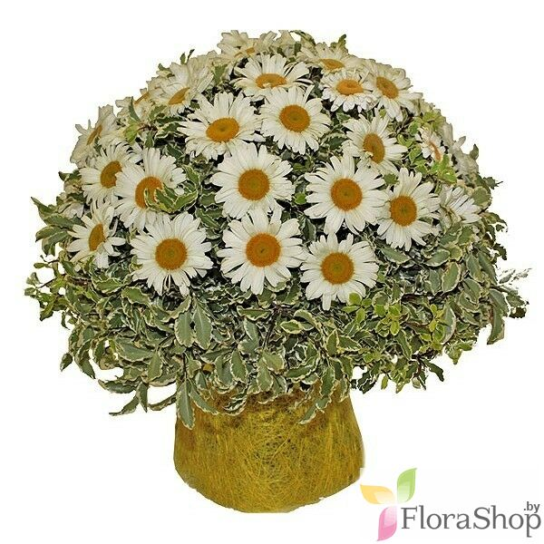 Compelling bouquet of daisies