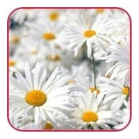 Flower delivery Gomel. Daisies